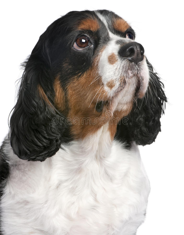 De Arrogante Koning Charles Spaniel van de close-up stock foto