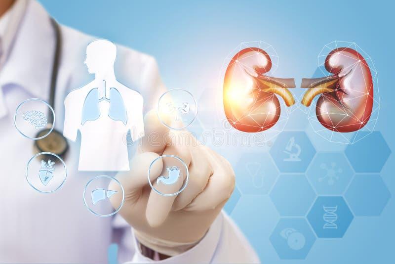 De arts controleert de nier stock afbeeldingen