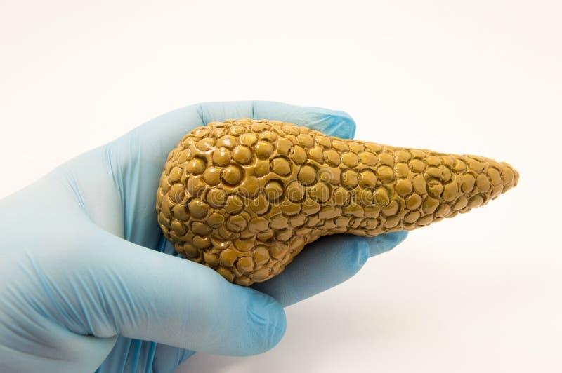 De arts houdt ter beschikking, gekleed in handschoen, anatomisch model van alvleesklier op witte achtergrond Conceptenbeeld voor  royalty-vrije stock fotografie