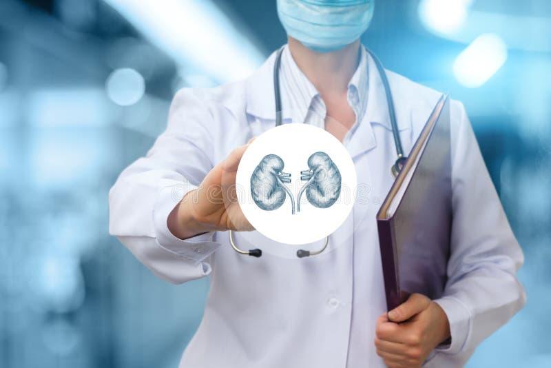 De artsenuroloog toont het pictogram met de nier stock afbeeldingen