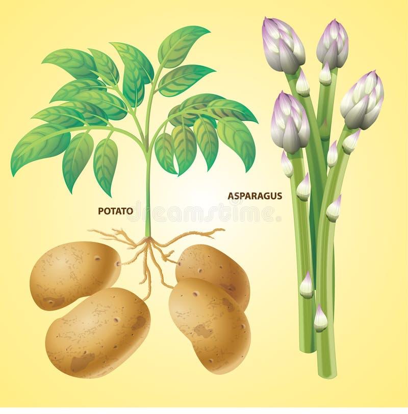 De aspergevector van de groentenaardappel royalty-vrije illustratie