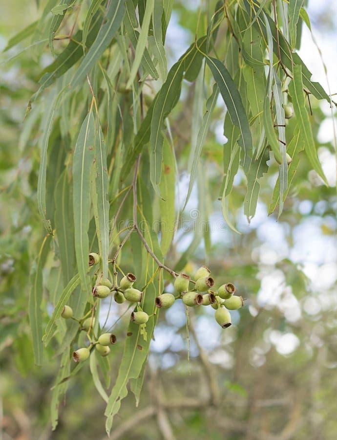 De Australische bladeren van de eucalyptusgom en gumnuts royalty-vrije stock afbeelding
