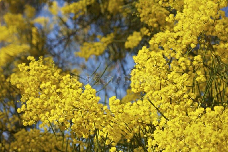 De Australische Boom van Mimosa's of van de Acacia in Bloei royalty-vrije stock foto's