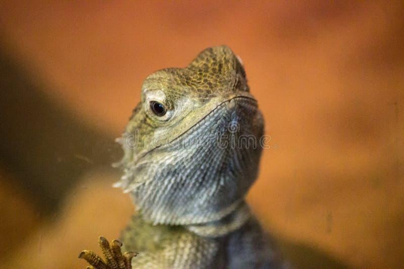 De Australische gebaarde close-up van de draakhagedis stock afbeeldingen