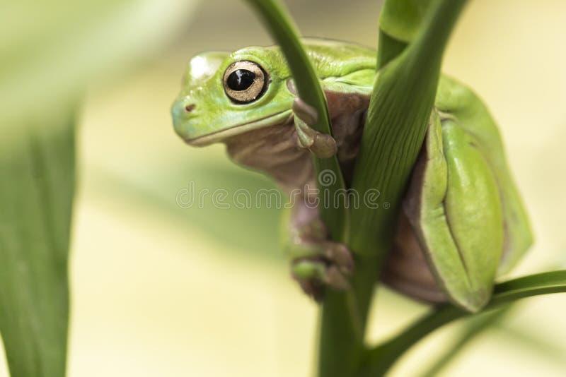 De Australische Groene Kikker van de Boom royalty-vrije stock afbeelding
