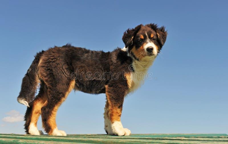 De Australische herder van het puppy stock foto's
