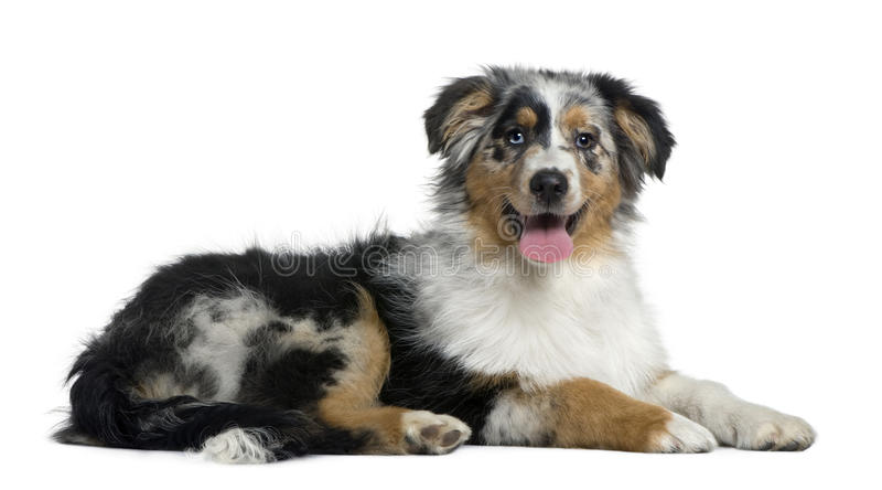 De Australische hond van de Herder, 4 maanden oud stock fotografie