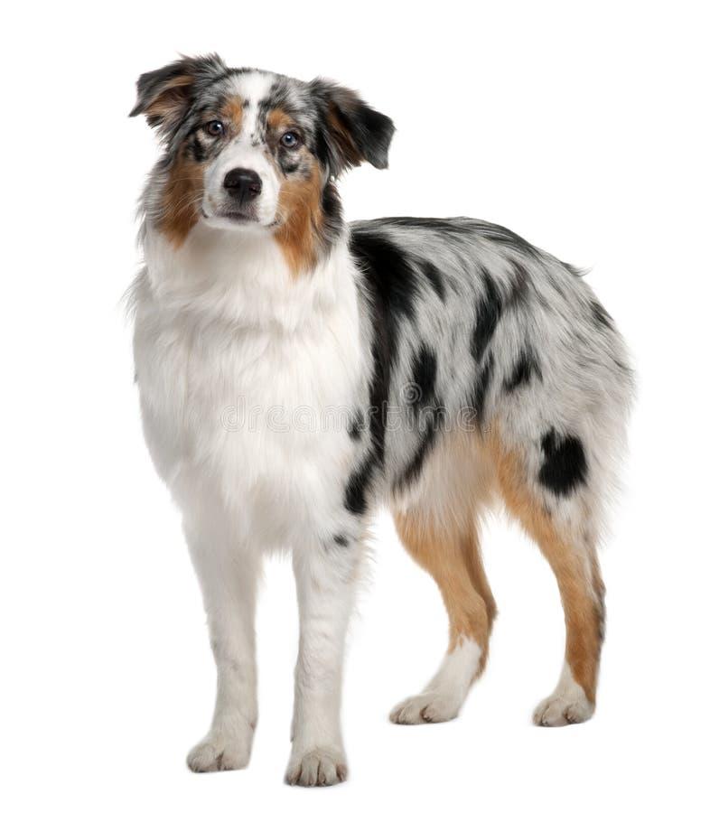 De Australische hond van de Herder, status stock fotografie