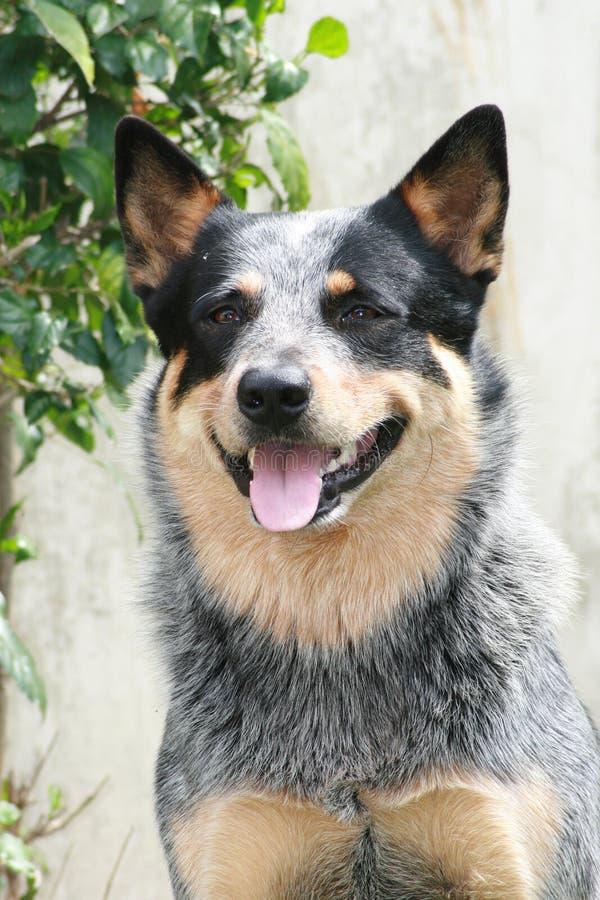 De Australische Hond van het Vee stock afbeelding
