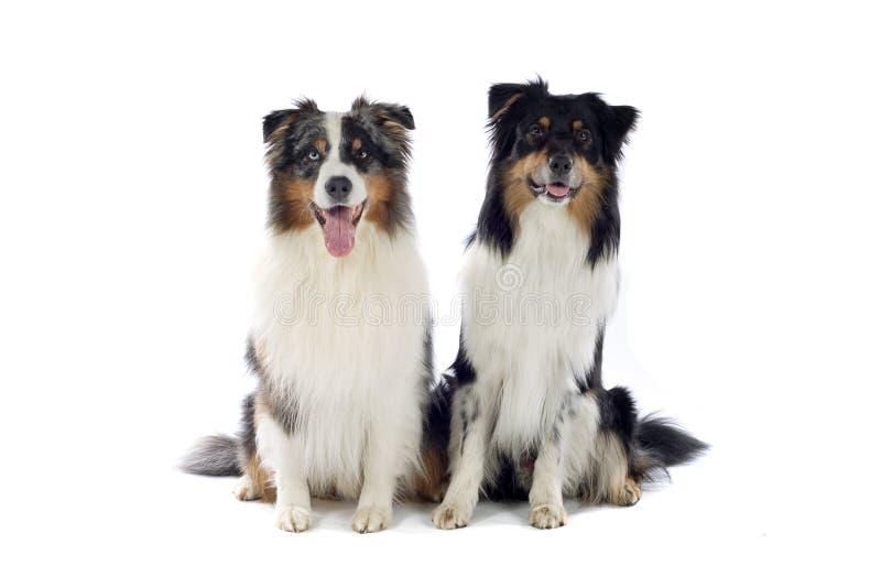 De Australische honden van de Herder royalty-vrije stock foto