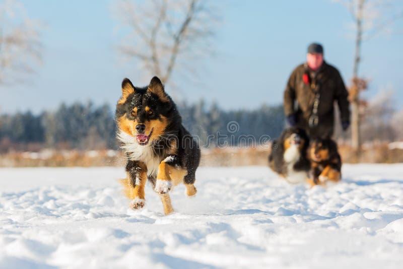 De Australische looppas van de Herdershond in de sneeuw stock foto's