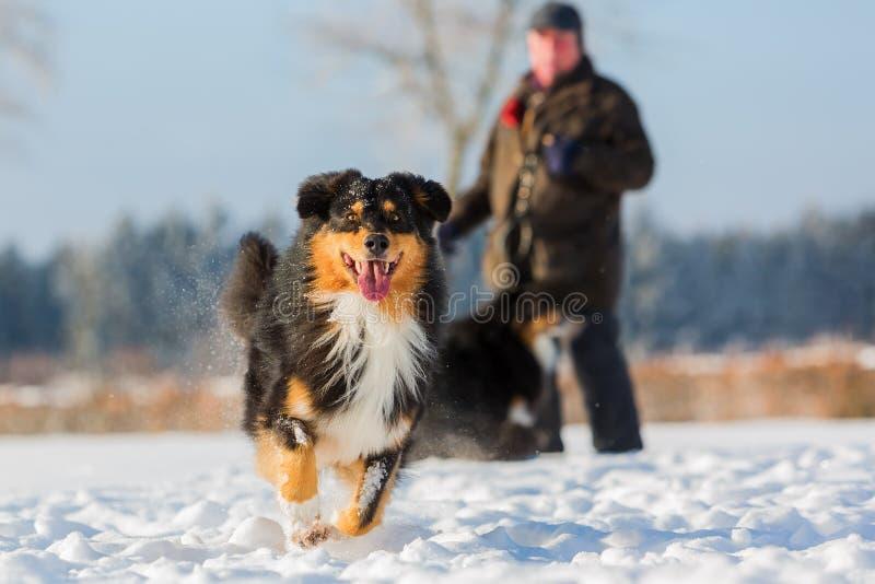 De Australische looppas van de Herdershond in de sneeuw stock fotografie