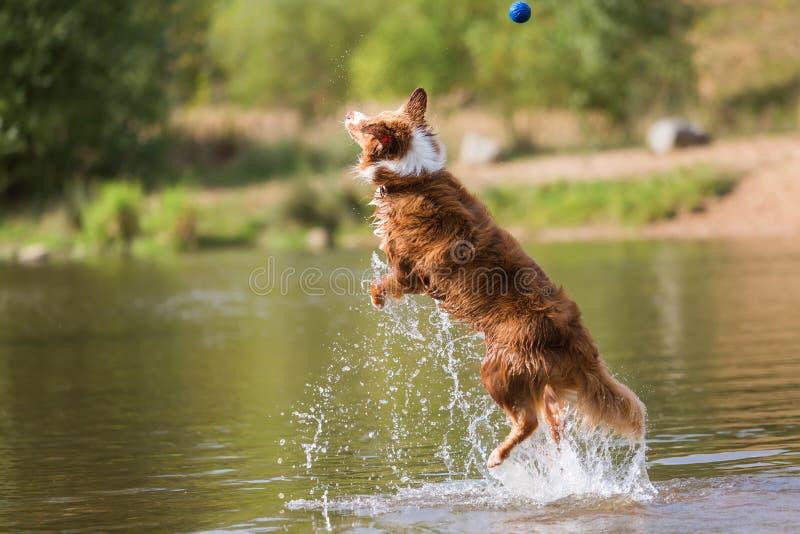 De Australische sprongen van de Herdershond in een rivier stock afbeelding