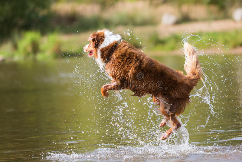 De Australische sprongen van de Herdershond in een rivier royalty-vrije stock fotografie