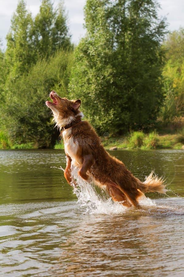 De Australische sprongen van de Herdershond in een rivier stock afbeeldingen
