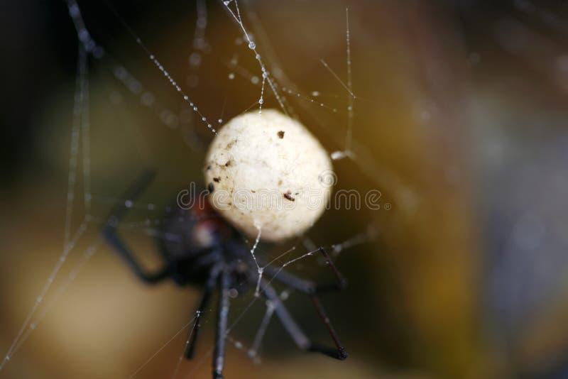 De Australische Zak van het Ei van de Spin Redback stock afbeeldingen