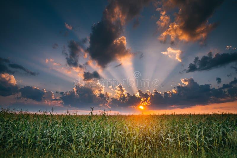 De Avond van de de zomerzonsondergang boven Plattelands Landelijk Cornfield Landschap royalty-vrije stock afbeeldingen