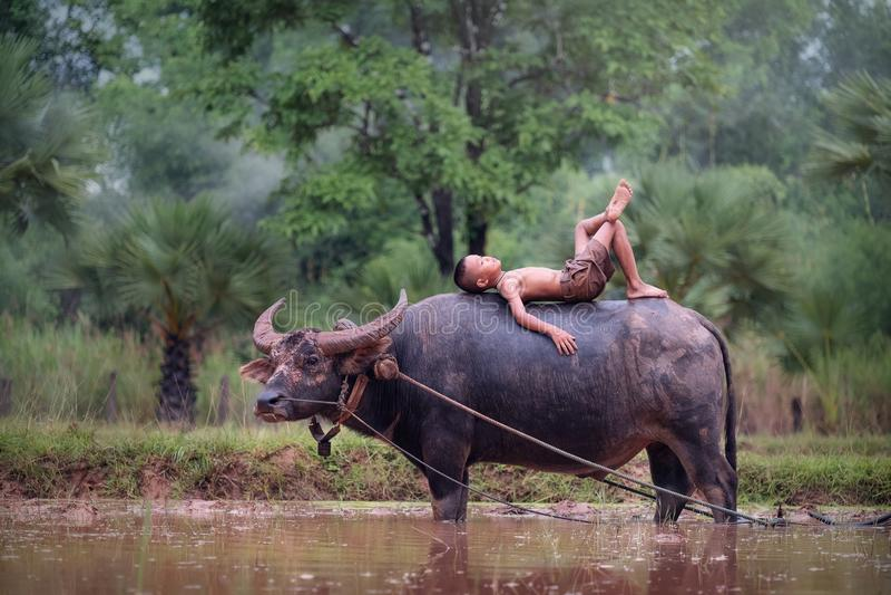 De Aziatische jongen van het land ligt op de buffels bij het padieveld, de jongen stock foto
