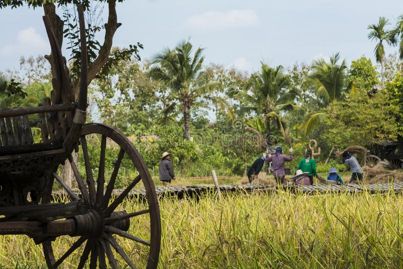De Aziatische landbouwers oogsten rijstzaden stock foto's