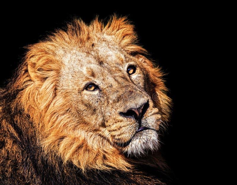 De Aziatische leeuw royalty-vrije stock afbeeldingen