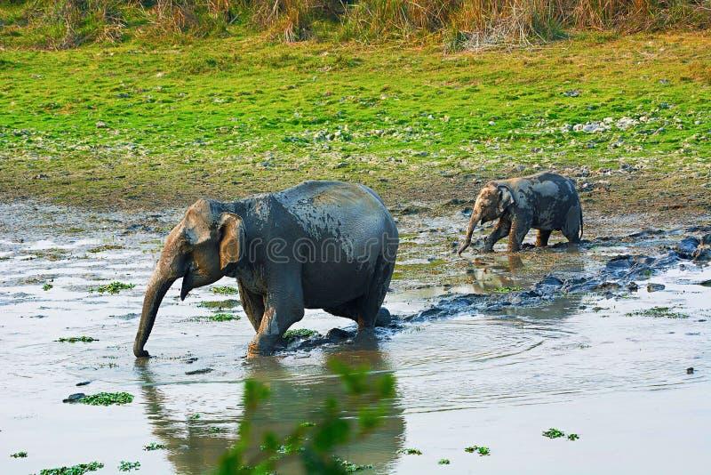 De Aziatische of Aziatische olifant, Elephas-maximus stock afbeeldingen