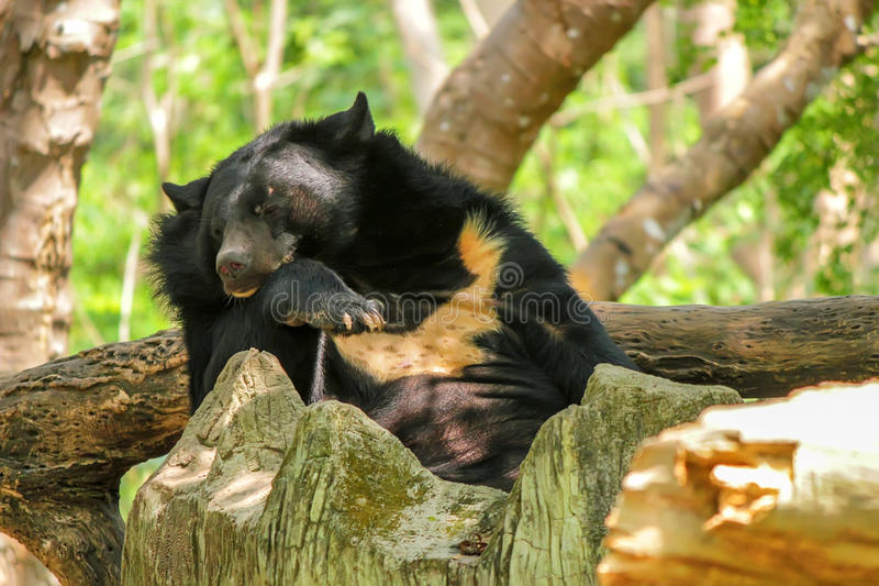 De Aziatische zwarte draagt of Ursus-thibetanus in dierentuin stock afbeeldingen