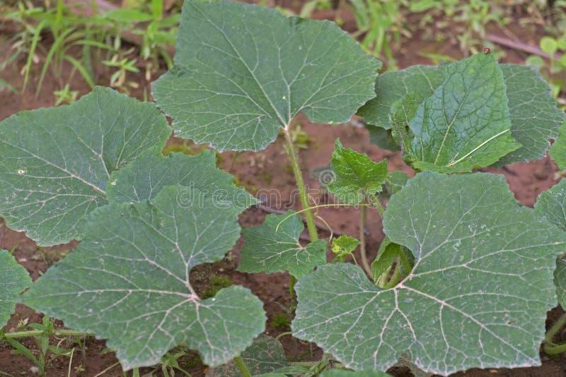 De azijn van de de Groeps` Wijnstok van Cucurbitamaxima ` Kabocha aan de grond heeft een hand aan de boomstam te plakken Op beide stock foto's