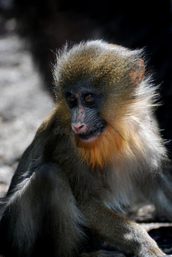 De bébé de mandrill de singe fin et personnel mignons images stock