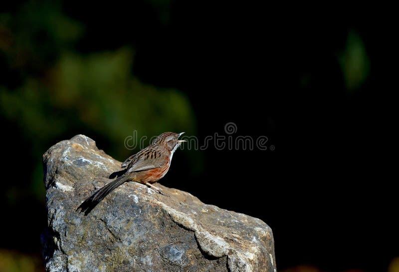 De Babbelkous van de vogelsheuvel royalty-vrije stock foto's