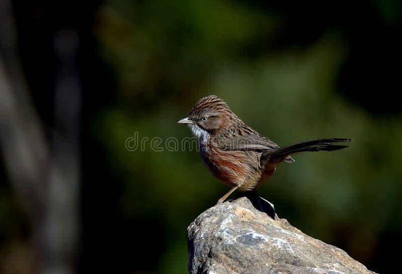 De Babbelkous van de vogelsheuvel royalty-vrije stock afbeelding