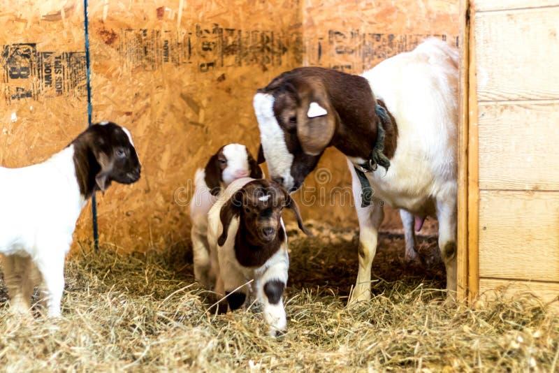 De baby bevlekte Boerengeiten met Lop Oren in schuur met moeder royalty-vrije stock afbeeldingen