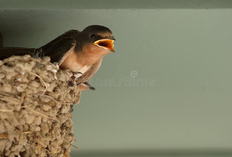 De baby slikt in nest stock foto's