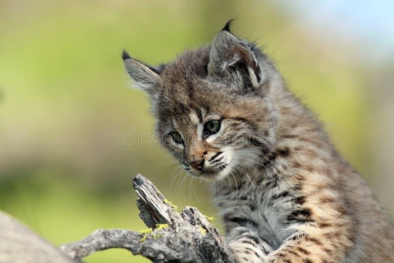 De Baby van Bobcat stock afbeelding