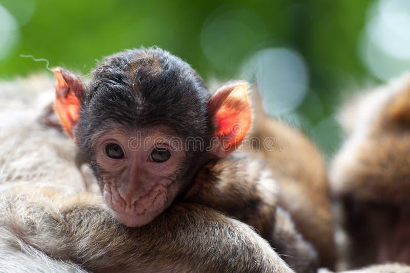 De Baby van de aap stock afbeelding