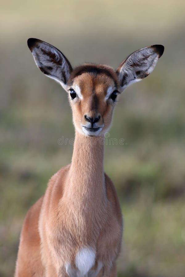 De Baby van de Antilope van de impala stock foto