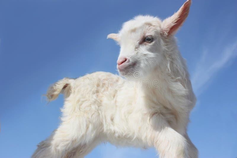 De baby van de geit royalty-vrije stock fotografie