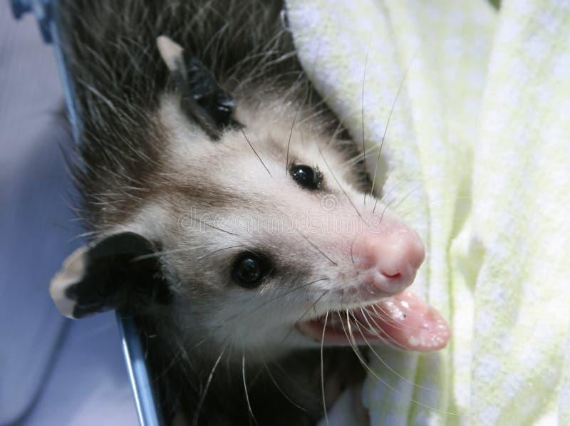 De Baby van de Opossum van Orphaned stock foto
