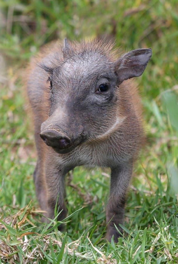 De Baby van het wrattenzwijn royalty-vrije stock fotografie