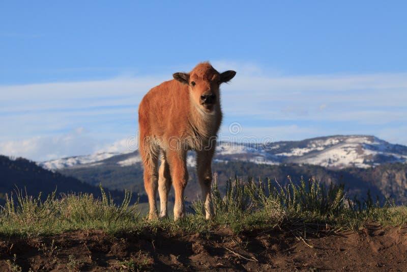 De babybizon in het Nationale Park van Yellowstone bekijkt de Kijker stock foto's