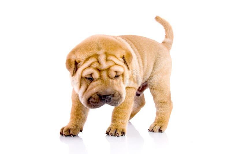 De babyhond van Pei van Shar stock fotografie