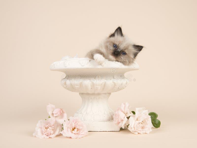 De babykat van de voddenpop met blauwe ogen die over de rand van een bloempot hangen met witte rozen en een gebroken witte achter royalty-vrije stock afbeeldingen