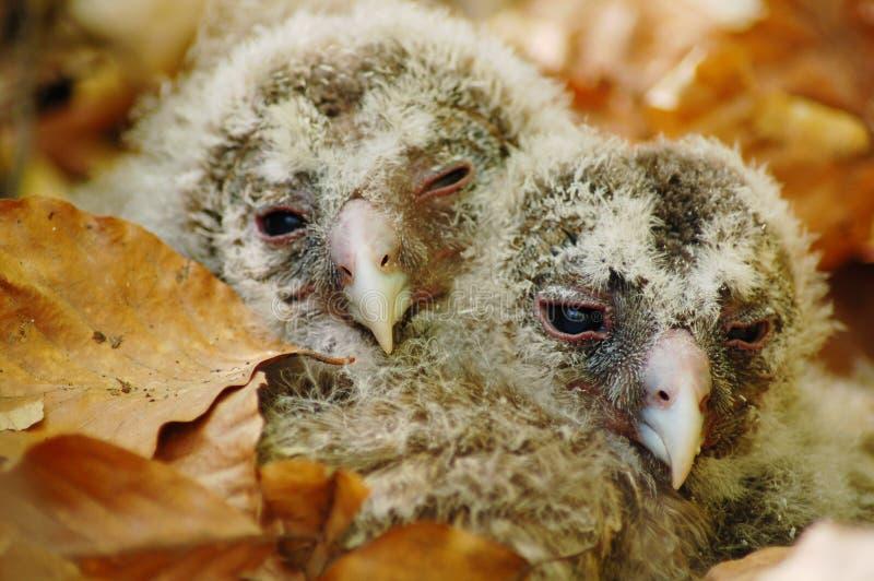 De babys van de uil stock afbeeldingen