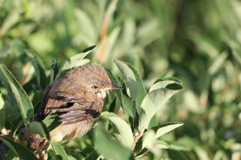 De babyvogel van een lijsterzitting op een tak stock afbeeldingen