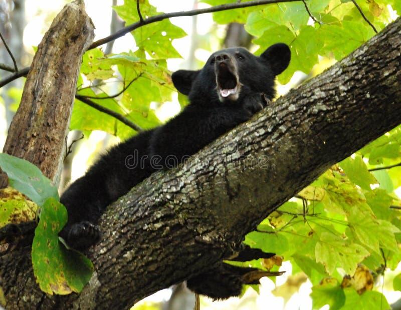 De babyzwarte draagt geeuwen aangezien hij in een boomlidmaat legt. stock afbeelding