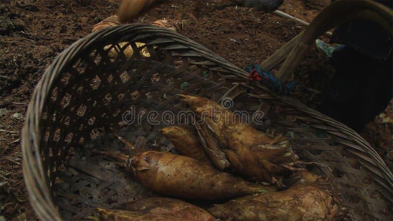 De bamboespruit in de bosaard is grondstof aan kok het sierlijke voedsel groeien in berg stock afbeelding