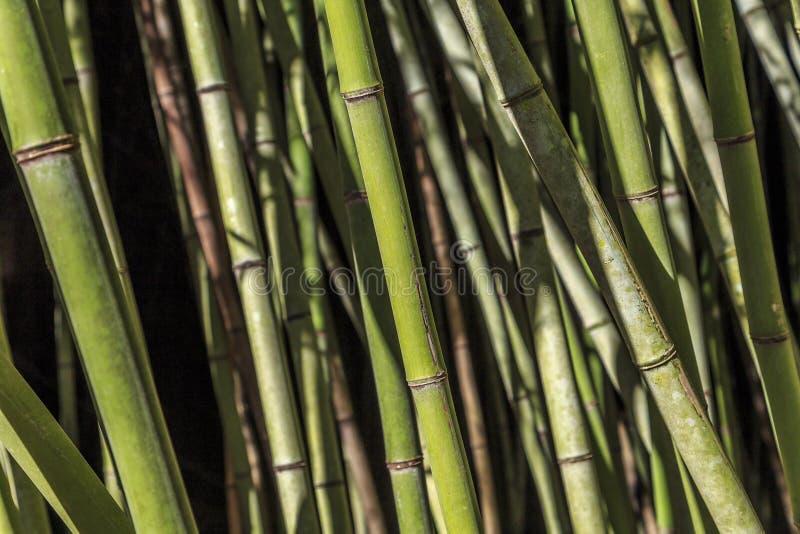 De bambu, o constante sempre-verde fotos de stock