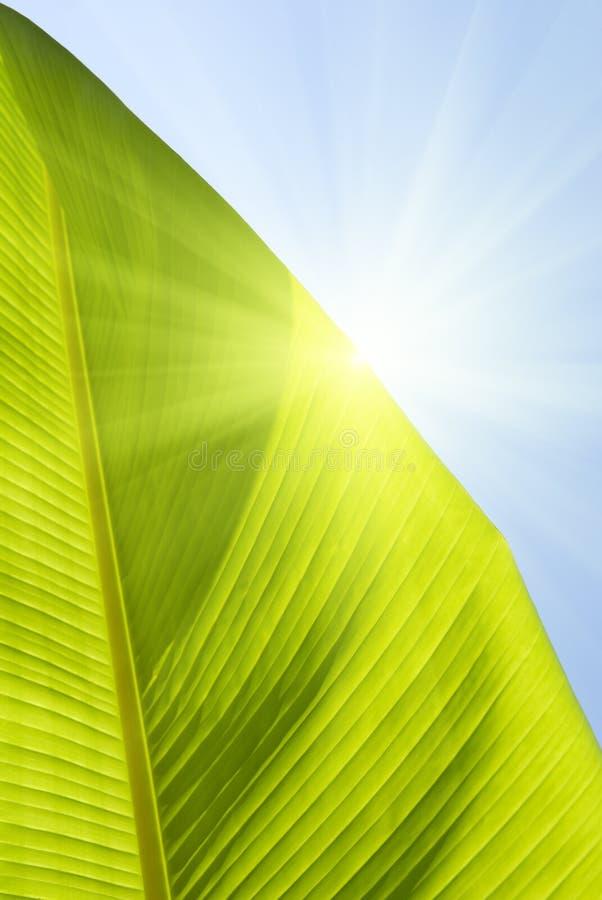 De banaanpalm van het blad stock fotografie