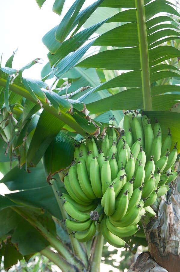 de bananen groeien op een boom stock foto's