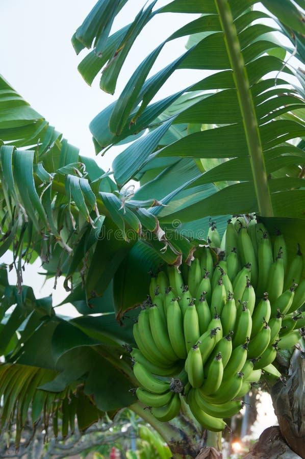 de bananen groeien op een boom royalty-vrije stock foto