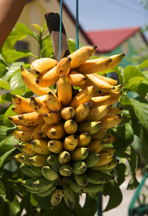 De bananen van Senorita stock afbeeldingen
